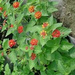 Texas Flame (Dallas Red, New Red) -- Orange/yellow/red tricolor blooms turn to deep red, maintains a compact bush shape. This is the reddest lantana available.