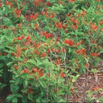 MEXICAN HONEYSUCKLE (Justicia spicigera): orange, tubular flowers; everblooming; drought tolerant; shear occasionally; sun to part shade; hardy; 2 feet.