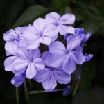 BLUE PLUMBAGO (Plumbago auriculata): clusters of baby blue flowers; drought tolerant; well-drained soil; full to part sun; 2 to 3 feet.