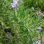 ROSEMARY (Rosmarinus officinalis): grayish-green, fleshy, needle-like foliage with pale blue flowers; blooms spring, fall, and winter; both upright and trailing forms are available; 1 to 4 feet.